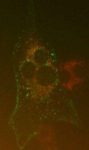 fluorescentiemicroscopie
